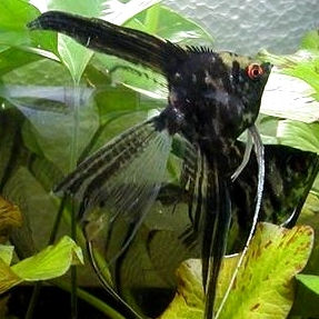 Angelfish - Black Marble Veil- Small